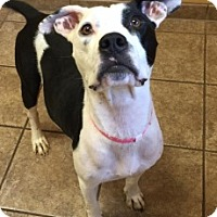 Pit Bull Terrier Mix Dog for adoption in Joplin, Missouri - Tasha 4891