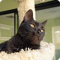 Adopt A Pet :: Shadow - Van Nuys, CA