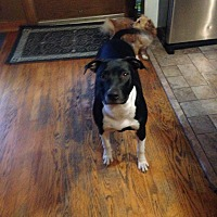 Adopt A Pet :: Ellie - Oak Lawn, IL