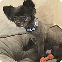 Pomeranian/Pomeranian Mix Dog for adoption in beverly hills, California - Walter