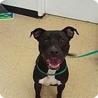 American Pit Bull Terrier Mix Dog for adoption in Hopewell, Virginia - Tommy