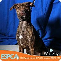 Adopt A Pet :: Whiskey - Enid, OK