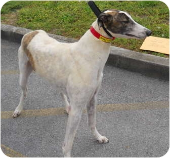 Greyhound Dog for adoption in Knoxville, Tennessee - Dance