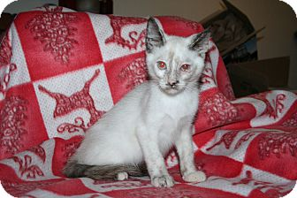 Siamese Kitten for adoption in Santa Rosa, California - Syrah