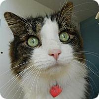 Domestic Longhair Cat for adoption in Denver, Colorado - J.J.