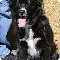 Adopt A Pet :: Lacy - Gilbert, AZ
