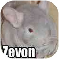 Adopt A Pet :: Zevon - Virginia Beach, VA