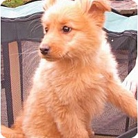 Adopt A Pet :: One fluffy furball...Sugar Bea - maryville, TN