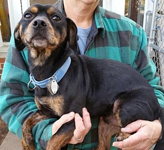 Miniature Pinscher/Beagle Mix Dog for adoption in Grantville, Pennsylvania - Jelly