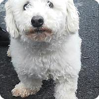 Adopt A Pet :: Snowy - Winchester, VA