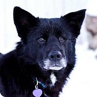 Akita Mix Dog for adoption in Edmonton, Alberta - Chinook