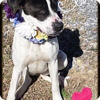 Adopt A Pet :: Sweet Pop - Charlemont, MA