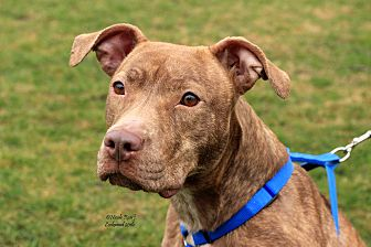 American Pit Bull Terrier Mix Dog for adoption in Flushing, Michigan - Adele