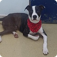 American Bulldog Dog for adoption in Miami, Florida - Potter