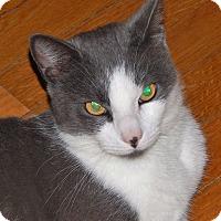 Domestic Shorthair Cat for adoption in N. Billerica, Massachusetts - Milo