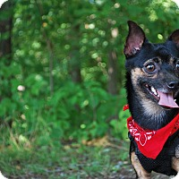 Adopt A Pet :: Gonzo - New Castle, PA