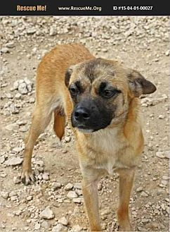 Pug/Chihuahua Mix Dog for adoption in Hankamer, Texas - Fauna