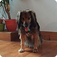 English Shepherd Dog for adoption in Wilmington, Massachusetts - Duncan: Loves SNOW!