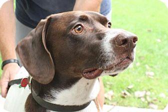 German Shorthaired Pointer Dog for adoption in Omaha, Nebraska - Tucker
