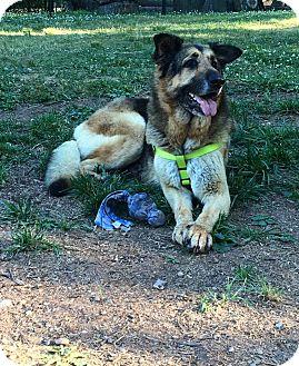 Shepherd (Unknown Type) Mix Dog for adoption in Aurora, Ohio - Zena