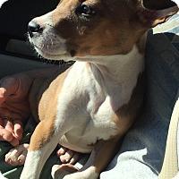 Adopt A Pet :: ROCCO - Brattleboro, VT