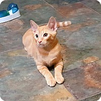 Domestic Shorthair Kitten for adoption in Pasadena, California - Bobby