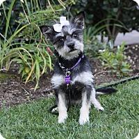 Yorkie, Yorkshire Terrier Mix Dog for adoption in Newport Beach, California - ABBIE