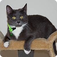 Domestic Shorthair Cat for adoption in Myrtle Beach, South Carolina - Lily