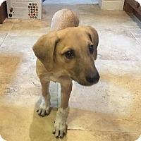 Adopt A Pet :: Puppy Drake - Austin, TX
