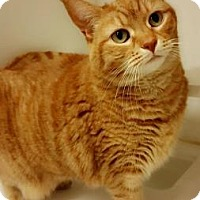 Adopt A Pet :: Gingy - Reisterstown, MD
