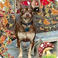 Adopt A Pet :: Koko - S. Pasedena, FL