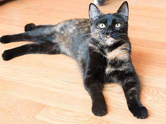 Domestic Shorthair Cat for adoption in Chicago, Illinois - Cherub
