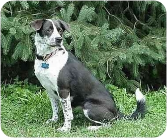 Border Collie/Pug Mix Dog for adoption in Tiffin, Ohio - Chessie