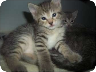 Domestic Shorthair Kitten for adoption in Little Neck, New York - noLIESstill here