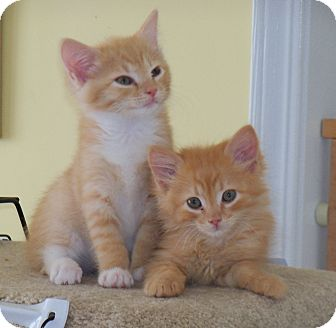 Maine Coon Kitten for adoption in Harrisburg, North Carolina - Leo