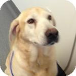 Labrador Retriever Mix Dog for adoption in Cincinnati, Ohio - Landen