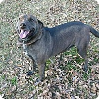 Australian Cattle Dog/Cattle Dog Mix Dog for adoption in Rayville, Louisiana - Brownie