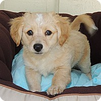 Adopt A Pet :: Wiley - La Habra Heights, CA