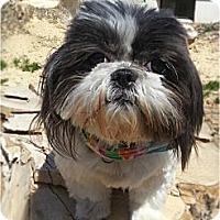 Adopt A Pet :: Cricket-adoption pending - Bridgeton, MO