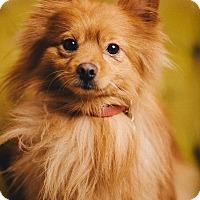 Adopt A Pet :: Oso - Portland, OR
