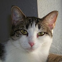 American Shorthair Cat for adoption in Glendale, Arizona - Taco
