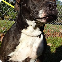 Pit Bull Terrier Mix Dog for adoption in Brooksville, Florida - DOLLY
