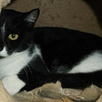 American Shorthair Cat for adoption in Orangeburg, South Carolina - Chloe