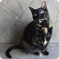 Domestic Shorthair Cat for adoption in Seguin, Texas - T.J.
