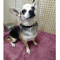 Adopt A Pet :: Harry - Mesa, AZ
