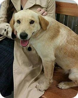 Golden Retriever Mix Puppy for adoption in McAllen, Texas - Sophia