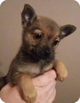 miniature pinscher pomeranian mix rosie adopted puppy southington ct pomeranian 3889