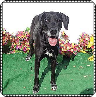 Labrador Retriever Mix Dog for adoption in Woodstock, Georgia - Shania