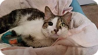 Domestic Shorthair Cat for adoption in Darby, Pennsylvania - Jude