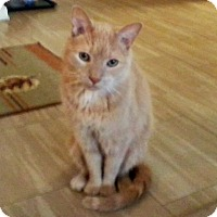 Adopt A Pet :: Buddy Bear Jr. *declawed* - Toronto, ON